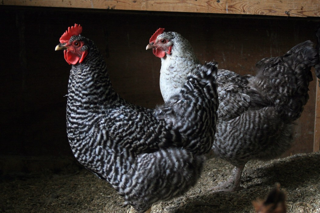chickens pair